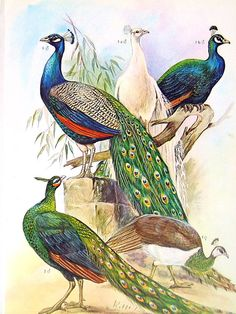 Drawn peafowl indian peacock - pin to your gallery. Explore what was found for the drawn peafowl indian peacock Peacock Drawing, Peacock Wall Art, Peacock Painting, Peacock Sketch, Bird Drawings, Colorful Drawings, Animal Drawings, Cute Drawings, Drawing Animals