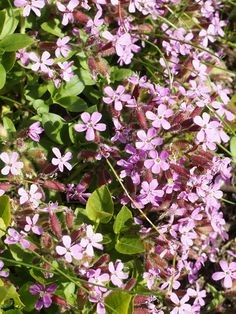 Beschrijving Saponaria ocymoides (flowers).jpg - Check out the free plant identification mobile app at GardenAnswers.com