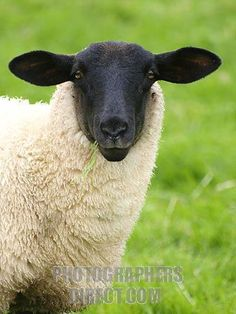 Suffolk sheep are a black-faced, open-faced breed of domestic sheep raised primarily for meat