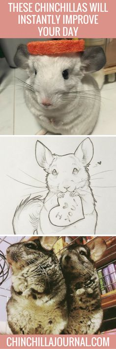 These Chinchillas Will Instantly Improve Your Day