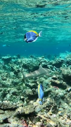 maldives honeymoon Heres a snorkeling experience you could have when visiting the Maldives. ing a black-tip reef shark! Best Resorts In Maldives, Maldives Resort, Maldives Honeymoon, Reef Shark, Shark Diving, Padi Diving, Scuba Diving, Underwater Animals, Ocean Creatures