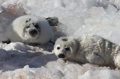 All sizes   2011 Canadian Commercial Seal Hunt - Gulf of St. Lawrence   Flickr…