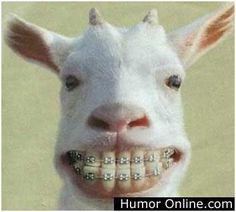 funny animals - Google Search the goat has braces LOL