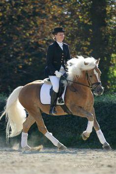 Aragorn - Haflinger stallion