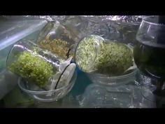 Как проращивать зерно. Моя полочка-тепличка. - YouTube