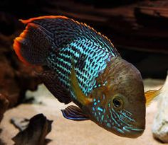 5 x Aequidens rivulatus 2 South American Cichlid Tropical Fish