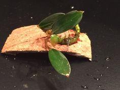 Bucephalandra Penelope Mexican, Ethnic Recipes, Food, Essen, Meals, Yemek, Mexicans, Eten