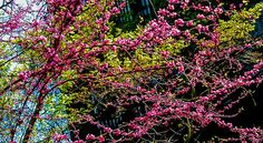"""""""Telegraph Hill Blossoms""""  Click the """"pinned from"""" link to purchase this print."""