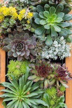 14569223-sedum-plants-or-sempervivium-used-for-green-eco-roofs.jpg 795×1,200 pixels