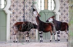 The okapi was thought by Europeans to be a mythical beast up into the 20th century.