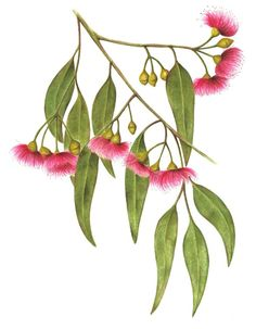 Fruit Illustration Watercolour Flower Paintings 45 Ideas For 2019 Australian Wildflowers, Australian Native Flowers, Australian Plants, Australian Tattoo, Australian Art, Botanical Drawings, Botanical Prints, Flower Images, Flower Art