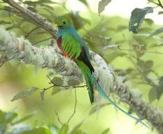 Amazing Quetzal with its wonderful colors-Los Quetzales National Park, San Jose