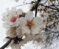 Almond blossoms by Maria Apostolou