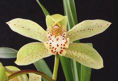 Orchid: Flower-detail of Cymbidium Grand Monarch 'Exquisitum' All Plants, Garden Plants, Orchid Images, Alpine Plants, Ways To Show Love, Cymbidium Orchids, Plantar, Natural Phenomena, Botany