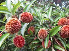 Pulasan fruits on tree