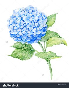 Find blue hydrangea isolated stock images in HD and millions of other royalty-free stock photos, illustrations and vectors in the Shutterstock collection. Thousands of new, high-quality pictures added every day. Hydrangea Flower, Vintage Floral, Watercolor Flowers, Decorative Bowls, Plant Leaves, Craft Projects, Royalty Free Stock Photos, Illustration, Garden