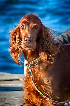 Irish Setter by Giuseppe Esposito via redbubble.com