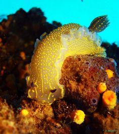 Nudibranchi, isola d'elba, immersioni