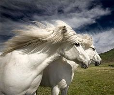 Beautiful Icelandic horses.
