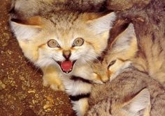 Sand Cat Kittens, Very Pretty, and have a raccoon style ringed tail Warrior Cats, Kittens Cutest, Cats And Kittens, Big Cats, Kitty Cats, Animals And Pets, Baby Animals, Animal Babies, Wild Animals