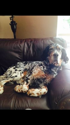 I Love Dogs, Cute Dogs, Doggies, Dogs And Puppies, English Setter Puppies, Hunting Dogs, Grouse Hunting, Puppy Images, Cute Dog Pictures