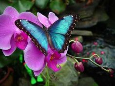 A gorgeous blue butterfly on an orchid...