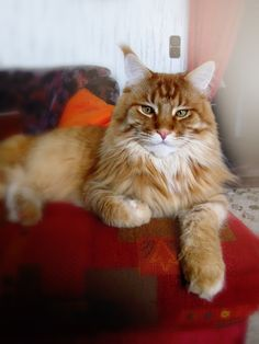 Billy the Maine Coon (by cinderellasgarden photography)