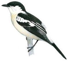 Long-tailed Triller (Lalage leucopyga)