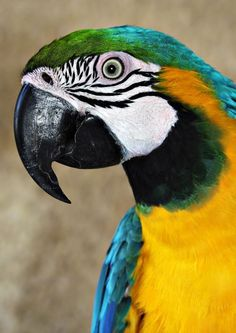 Resultado de imagem para parrot blue and yellow Tropical Birds, Exotic Birds, Colorful Birds, Colorful Animals, Parrot Pet, Parrot Bird, Beautiful Birds, Animals Beautiful, Animals And Pets
