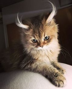 Love Cute Animals shares pics of playful animals, cute baby animals, dogs that stay cute, cute cats and kittens and funny animal images. Funny Kittens, Silly Cats, Cute Cats And Kittens, Baby Cats, Cool Cats, Kittens Cutest, Baby Kitty, Munchkin Kitten, Beautiful Cats