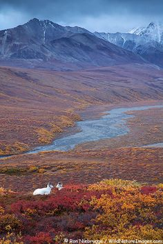 Dall's Sheep in Polychrome Pass, Denali National Park, Alaska