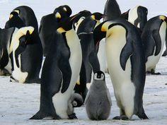 Qué comen los pingüinos
