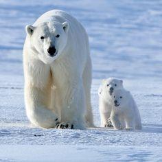funnywildlife:#SaveTheArctic, it's bear necessity by Sergey Gorshkov