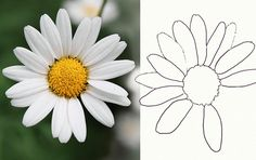 How to Draw a Realistic Daisy: Draw a Daisy