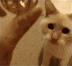 Funny Cats, Cute Cats, all the time.Big animals gif lover too. Like Animals, Cute Little Animals, Cute Funny Animals, Funny Cats, Crazy Dog, Crazy Cats, Cool Cats, Gatos Cool, Best Cat Gifs