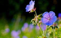 Perennial geranium, remind me of Grandma.