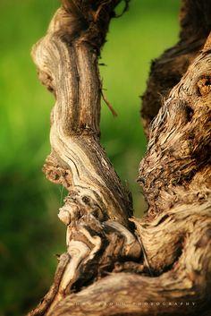 Barossa Valley grapevine, South Australia