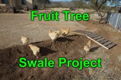 Micro swale to water my fruit trees - desert permaculture