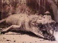 Measuring 8.6m crocodile killed in Queensland, Australia in 1957