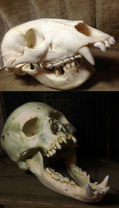 Swapping bear and human cranium/mandible makes for good fun.