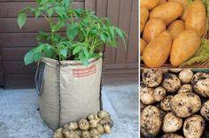 Cómo cultivar patatas en sacos