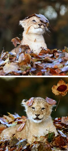 Name something cuter than this lion cub playing in a pile of leaves.