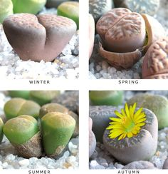 LITHOPS (LIVING STONES) GROWTH CYCLE
