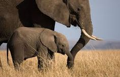 African elephant with young in Masai Mara National Reserve in Kenya.