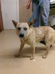 STILL AVAILABLE!! #ARKANSAS  ~ Daniel is a Neutered UTD shots & housetrained Australian Cattle Dog (Blue Heeler) Dog in need of a loving #adopter or #rescue at OZARK HUMANE SOCIETY 5147 Rock Springs Rd #Harrison Arkansas ohsshelter@gmail.com Ph870-741-3050