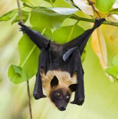 This October, we're celebrating Bat Month! Get your family involved by starting a campaign to protect bats https://www.earthrangers.com/bbtw/en/?banimal=34 and check back throughout the month for lots of bat facts and Halloween fun!