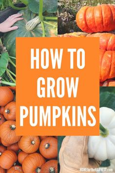 Pumpkins are easy to grow! Here's how to grow organic pumpkins - everything you need to know | Home for the Harvest #pumpkin #pumpkins #organicpumpkin #organicpumpkins #growpumpkins #howtogrowpumpkins #organicgardening #homefortheharvest