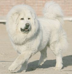Tibetan Mastiff- White on are not so common.