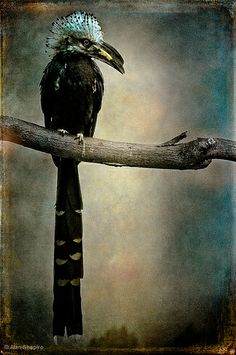 West African Long-Tailed (or White Crested) Hornbill -- when fully mature, they about tall with a long tail. by Alan Shapiro Renaissance Portraits, Exotic Birds, In The Tree, Walking In Nature, Bird Feathers, Amazing Nature, Beautiful Birds, Pet Birds, Bald Eagle
