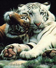 Tigre Bianca e Marone! by PakoTheBest, via Flickr
